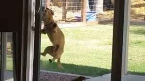 talented little dog figures out how to open sliding glass door the dog people by rover com
