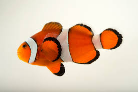 Clownfish National Geographic
