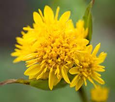 average american flower size goldenrod wikipedia