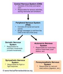 Flow Chart Of Nervous System In Human Beings Structure Of The Nervous System