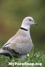 Collared Dove 2 Jpg From View Photo Mypornsnap Top