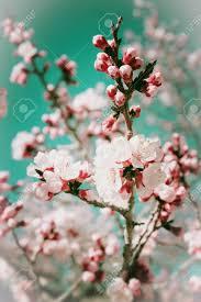 Bloeiende Boom Met Roze Bloemen De Aardachtergrond Van De