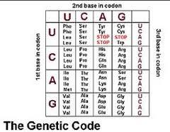 Dna To Rna Codon Chart Codon Chart Genetics