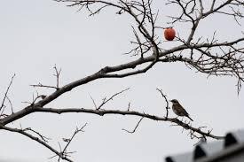 いよいよ木の実が減ってきたこれからがシロハラツグミの