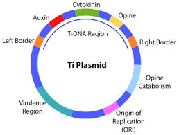 ti plasmid   wikipediati plasmid