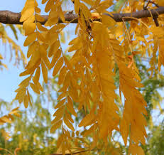 Image result for skyline honeylocust