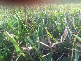 Identifying Kind Of Grass Doityourself Com Community Forums