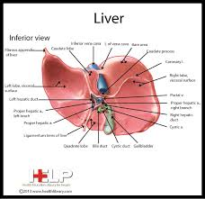 Liver Anatomy Pin By Patient Education On Liver Liver Anatomy Anatomy