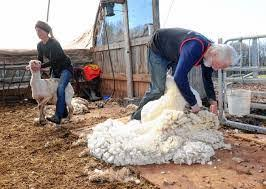 The Wool Journey part 5: harvesting the wool   The Natural Fibre Company