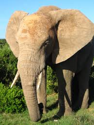 best ideas about african elephant habitat 17 best ideas about african elephant habitat elephants cute baby elephant and baby elephants