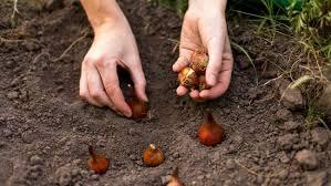 garden bulbs. Hands Planting Bulbs Garden