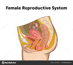 Female Anatomy Chart Education Chart Of Biology For Female Reproductive System