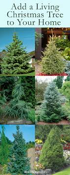 Should You Buy A Real Or Artificial Christmas TreeWhen Should You Buy A Christmas Tree