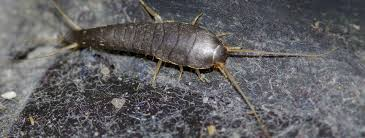Image result for silverfish control service