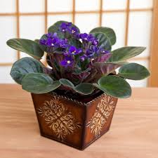 african violet in brown embossed tin container flowering plants by plant type givingplants