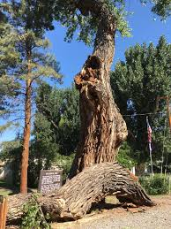 the southern ute drum ute council tree to be cut down friday