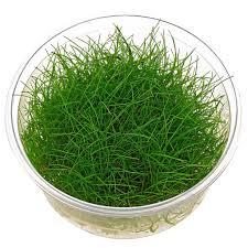 Best Low Light Carpet Plant 10 Best Aquarium Carpet Plants For Your Fish Tank