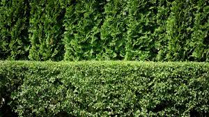 Living Privacy Fence How To Plant A Privacy Hedge Arbordayorg