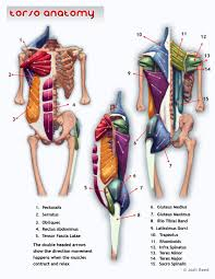 In broad terms, the extrinsic muscles of the back are innervated by the ventral. Muscles Of Upper Torso Page 1 Line 17qq Com