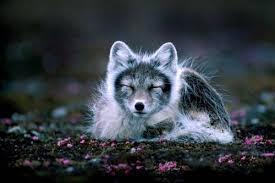 arctic fo arctic fox predators