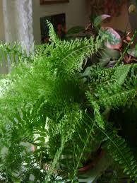 Boston fern (Nephrolepsis exaltata)