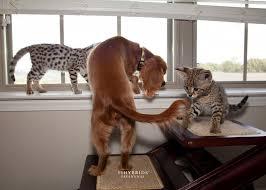 Savannah Cat Size Diet Temperament Price