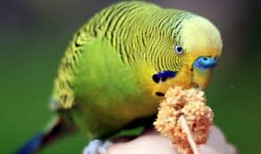 Parakeet Growth Chart Training Your Budgie How To Tame A Parakeet Hari