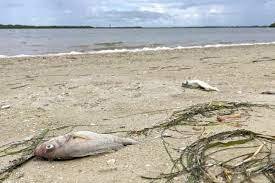 Red Tide Continues to Affect Sarasota's ...
