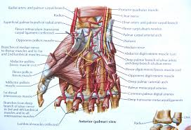 Human Hand Anatomy Diagram Hand Muscles And Tendons Human Anatomy ...