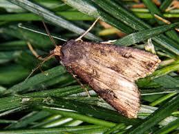 Black Cutworm Moth Croplife