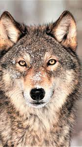 Black Wolf Wallpaper Hd - Novocom.top