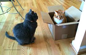 Most cats will choose a box over their human's lap, so why do cats like  boxes so much?