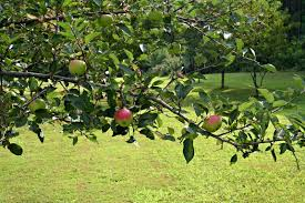 What Fruit Trees Can I Plant U2013 Home Garden JoyDwarf Fruit Trees Virginia