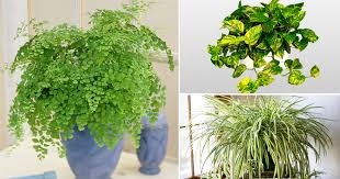 Best office plants no sunlight Plants That Tall Dining Room Table Thelaunchlabco Plants That Grow Without Sunlight 17 Best Plants To Grow Indoors