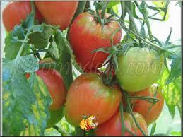 Une tomate, mais laquelle ?? Images?q=tbn:ANd9GcTQ-IE6M2mX60tqHCqkcrhTODrwg9Ne2uwu25tkcHD2neAqQ13KQA