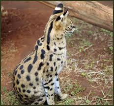 beautiful savannah cats for in texas