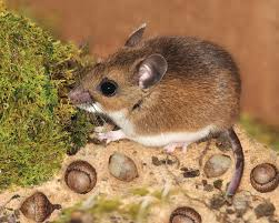 Rodents Lower Classifications Mouse Facts Habits Habitat Types Of Mice Live Science