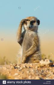 Meerkat Are Always On The Lookout For Danger This One Took It A Bit