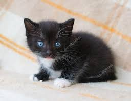 fluffy black kittens with blue eyes. Perfect With Small Black Fluffy Kitten With Blue Eyes Looking At Fright U2014 Stock Photo On Fluffy Black Kittens With Blue Eyes A