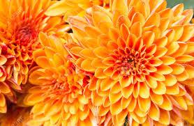 ligth orange yellow mum flowers in garden beautiful mum flowers background mum flower for