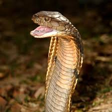 king cobra snake fangs. Perfect Fangs On King Cobra Snake Fangs