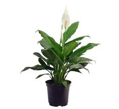 small plants for office. PEACE LILLY SMALL Small Plants For Office