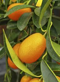 Kumquat Flowering Season U2013 Why There Are No Blooms On Kumquat TreesKumquat Tree Not Bearing Fruit