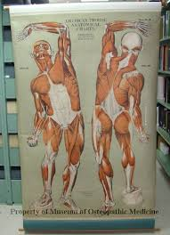 American Frohse Anatomical Charts Key 37 Unfolded Nystrom Anatomical Chart