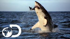 great white shark jumping. Perfect Great Incredible Footage Of Sharks Leaping Out The Water For Great White Shark Jumping YouTube