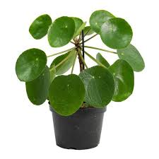 1 live pilea peperomioides chinese