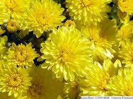 chrysanthemums in the chrysanthemums the chrysanthemums themselves