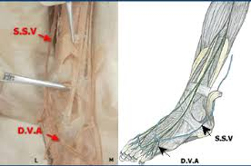 The Leg And Dorsum Of Foot