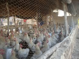 Poulailler Pour 500 Poulets