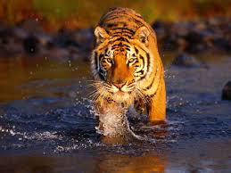 tiger wallpaper high resolution. Unique Resolution HQ Wallpapers Provides Latest High Resolution In Wide Screen  Also Find Here Animal Wallpapers Vehicles 3D  And Tiger Wallpaper S